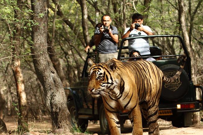 ranthambore tiger safari in rajasthan